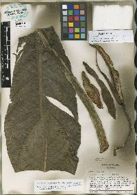 Philodendron pseudauriculatum image