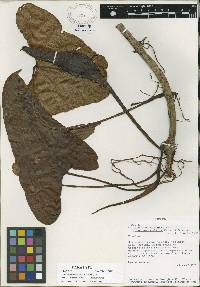 Philodendron wilburii image