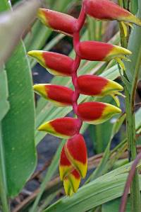 Image of Heliconia platystachys