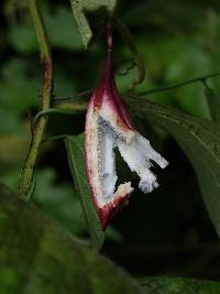 Passiflora costaricensis image