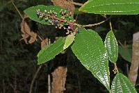 Image of Miconia affinis