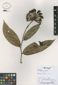 Marcgravia nepenthoides image