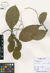 Coccoloba manzinellensis image