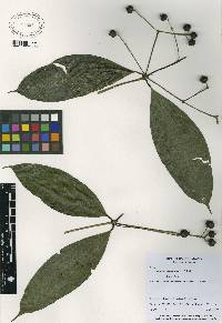 Faramea occidentalis image