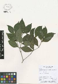 Psychotria hoffmannseggiana image