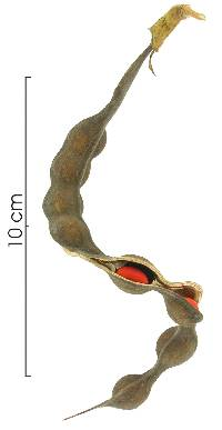 Erythrina costaricensis image