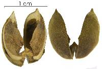 Mabea occidentalis image