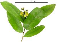 Ouratea lucens image