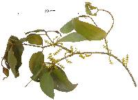Phoradendron piperoides image