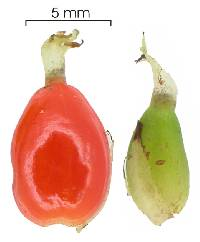 Psychotria chagrensis image