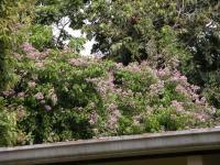 Arrabidaea florida image