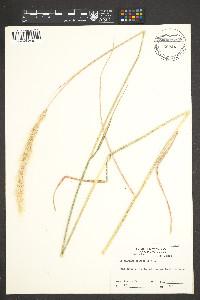 Image of Dichelachne crinita