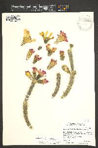 Cylindropuntia x viridiflora image