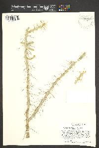 Cylindropuntia leptocaulis x spinosior image