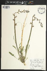 Caulanthus crassicaulis image