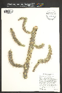 Cylindropuntia spinosior image