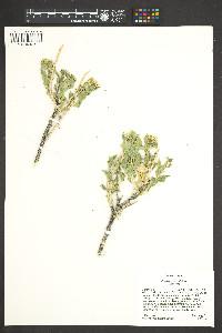 Petalonyx parryi image