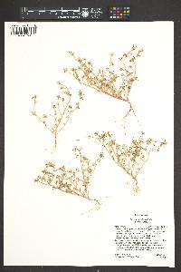 Portulaca halimoides image