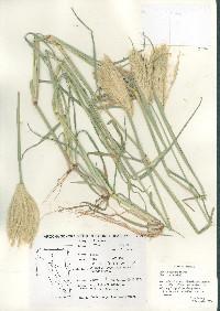 Chloris virgata image