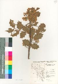 Berberis wilcoxii image