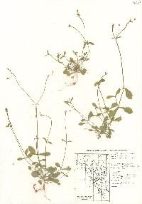 Cerastium texanum image