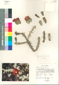 Image of Cylindropuntia neoarbuscula