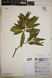 Vallesia laciniata image