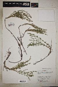 Galium coloradoense image