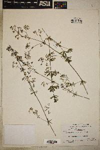 Galium sylvaticum image