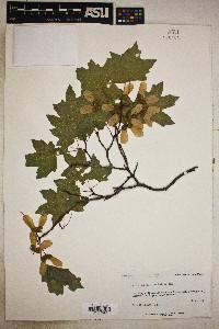 Acer grandidentata image