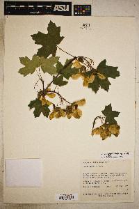 Acer grandidentatum image