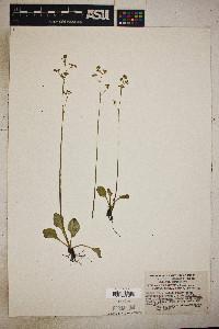Saxifraga integrifolia image