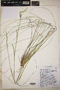 Elionurus barbiculmis image
