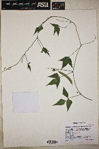 Phaseolus acutifolius var. latifolius image