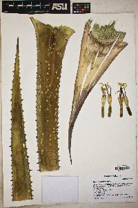 Agave palmeri image