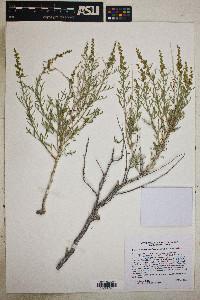Ambrosia platyspina image