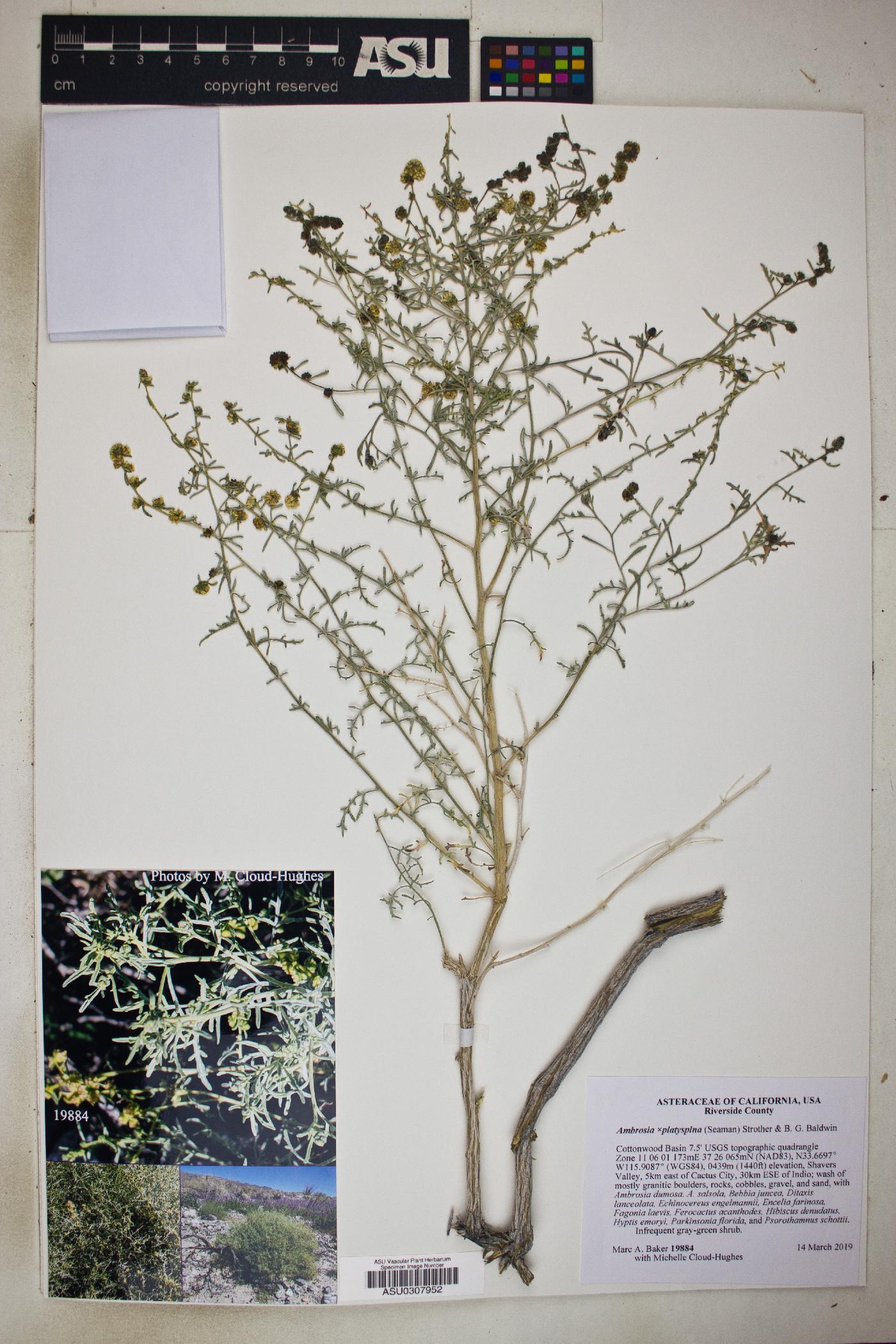 Ambrosia x platysperma image