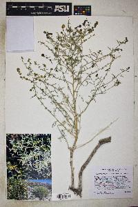 Image of Ambrosia x platysperma