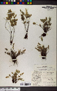 Cheilanthes X parishii image