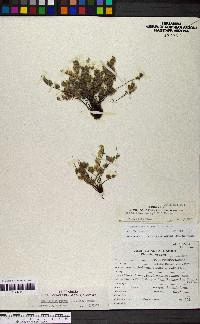 Myriopteris parryi image