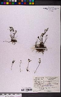 Myriopteris pringlei image