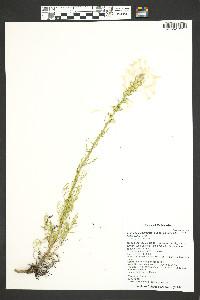 Ipomopsis aggregata image