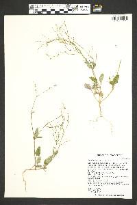 Boerhavia torreyana image