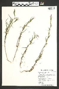 Castilleja minor image