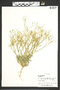Gilia clokeyi image