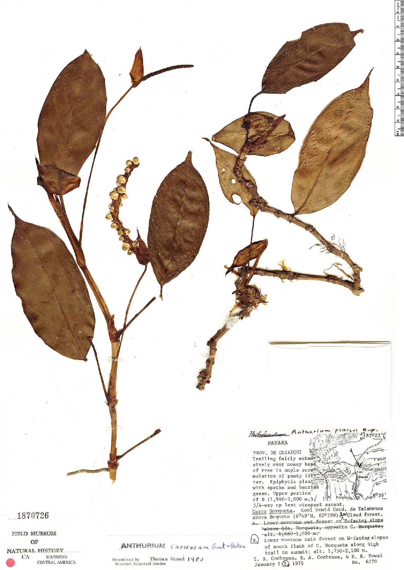 Anthurium carnosum image