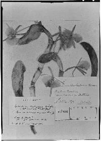 Epidendrum barbeyanum image
