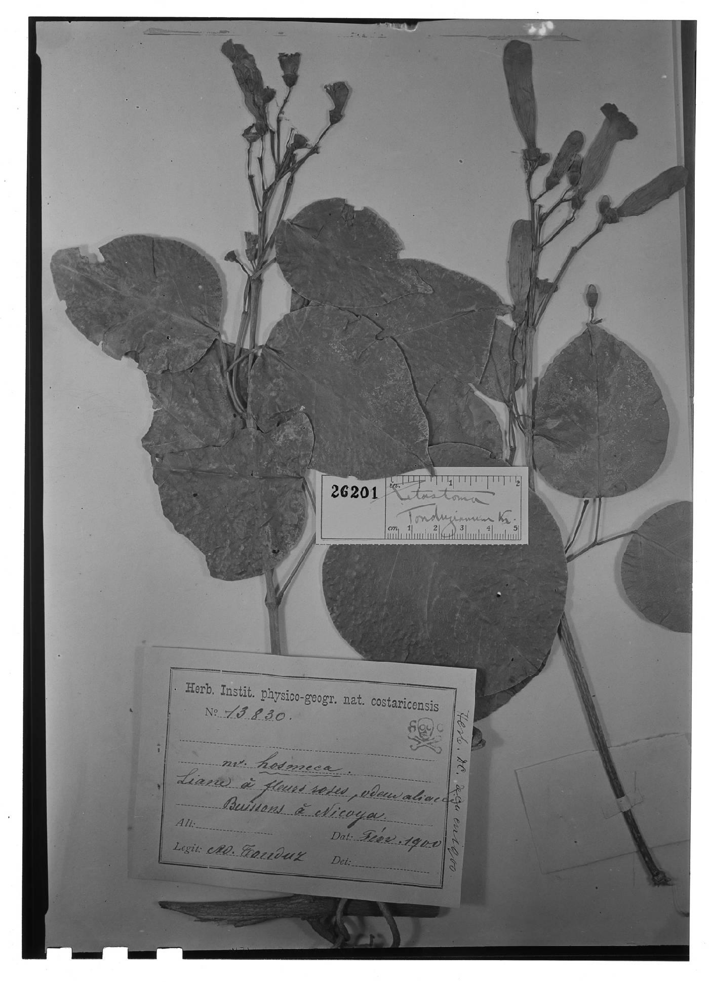 Mansoa hymenaea image