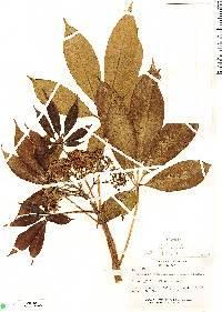 Godmania aesculifolia image