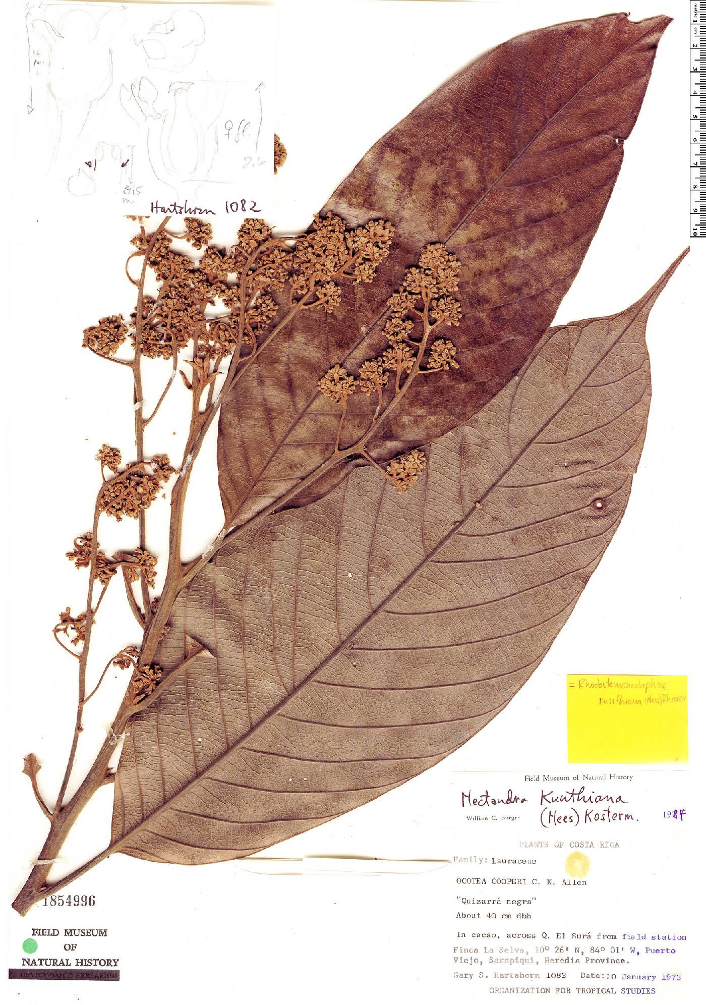 Rhodostemonodaphne kunthiana image